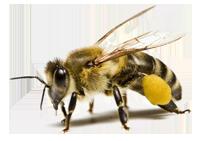 Наши пчелы трудолюбивы